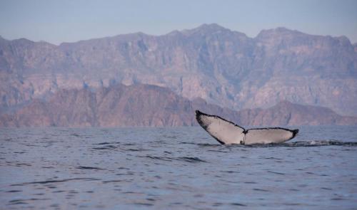 Baleine à bosse - Basse californie